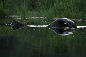 A swimming beaver photographed by Ellie George