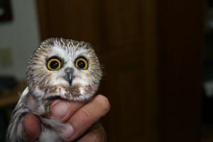 A Saw Whet Owl