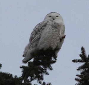 Snowy Owl image captured  by Ellie George