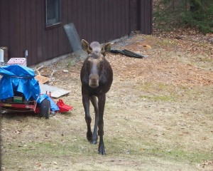 Local photographer Clark Lubbs captured this image of a moose in his back yard.