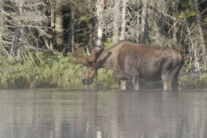 Mr. Moose at Helldiver Pond
